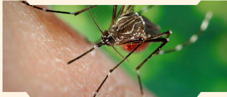 Female Yellow Fever Tiger Mosquito